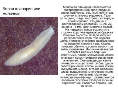 Белая планария или молочная Молочная планария - повсеместно распространенный ...