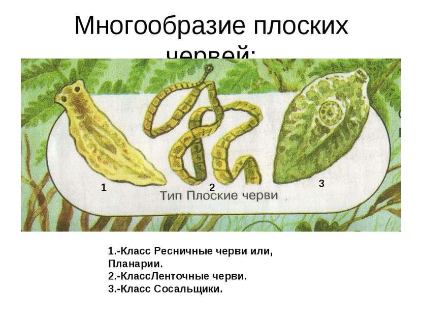 Многообразие плоских червей: 1.-Класс Ресничные черви или, Планарии. 2.-Класс...