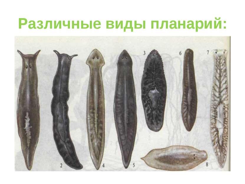 Различные виды планарий: