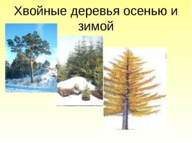 Хвойные деревья осенью и зимой