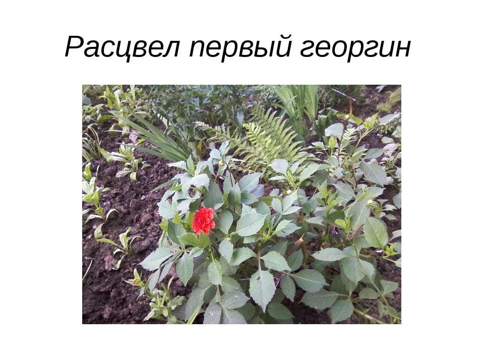 Расцвел первый георгин