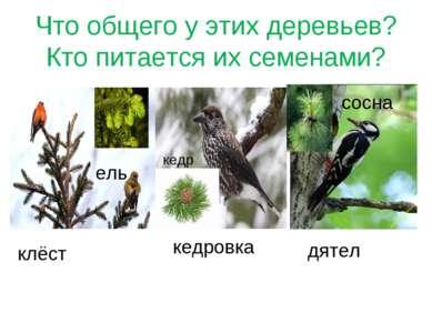 Что общего у этих деревьев? Кто питается их семенами? клёст ель кедровка кедр...