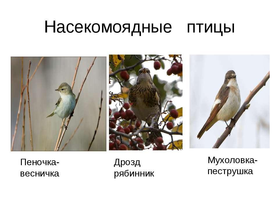 Насекомоядные птицы Дрозд рябинник Мухоловка- пеструшка Пеночка- весничка