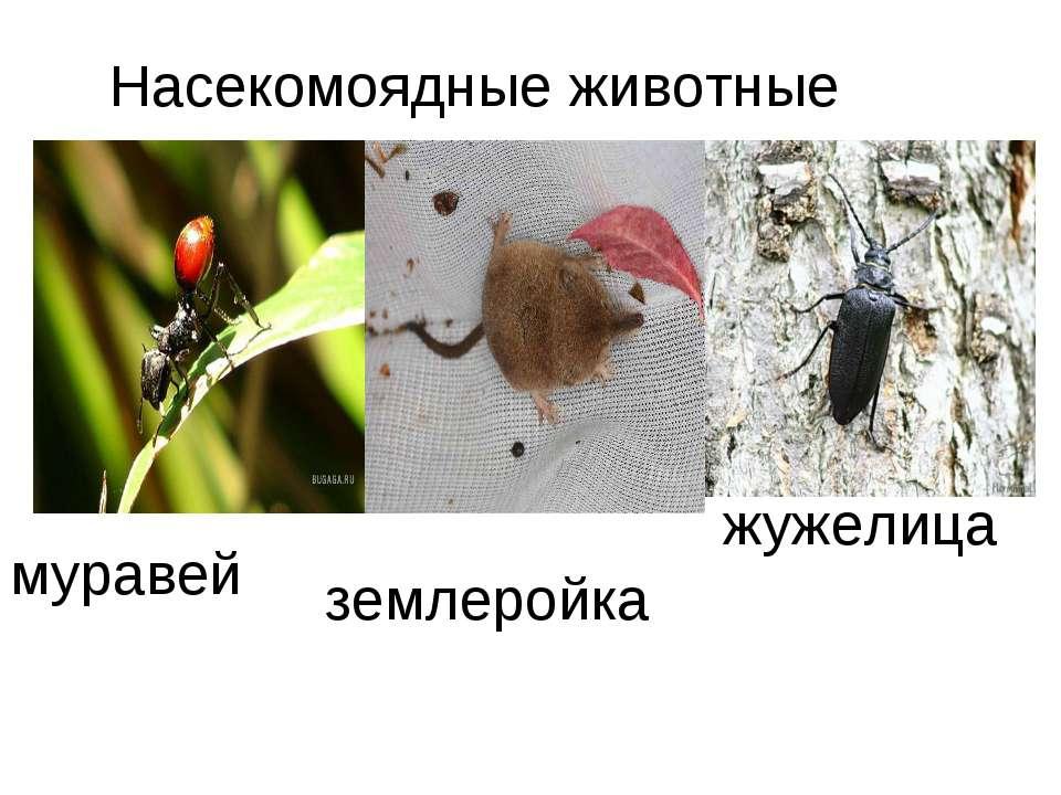 жужелица муравей землеройка Насекомоядные животные