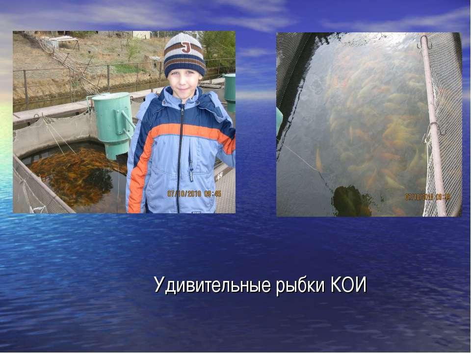 Удивительные рыбки КОИ