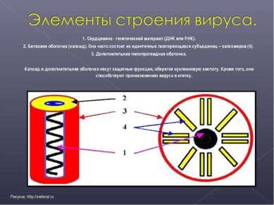 1. Сердцевина - генетический материал (ДНК или РНК). 2. Белковая оболочка (ка...