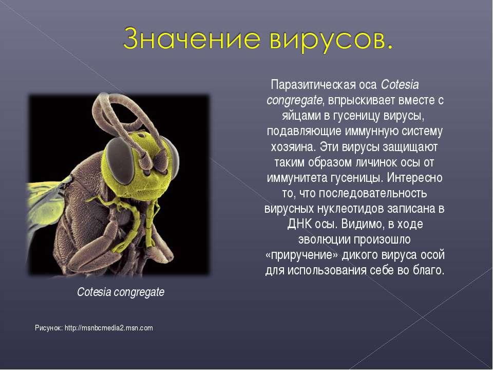 Паразитическая оса Cotesia congregate, впрыскивает вместе с яйцами в гусеницу...
