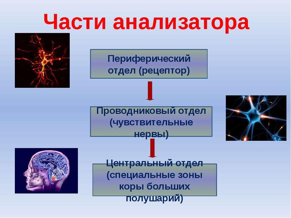 Периферический отдел (рецептор) Проводниковый отдел (чувствительные нервы) Це...