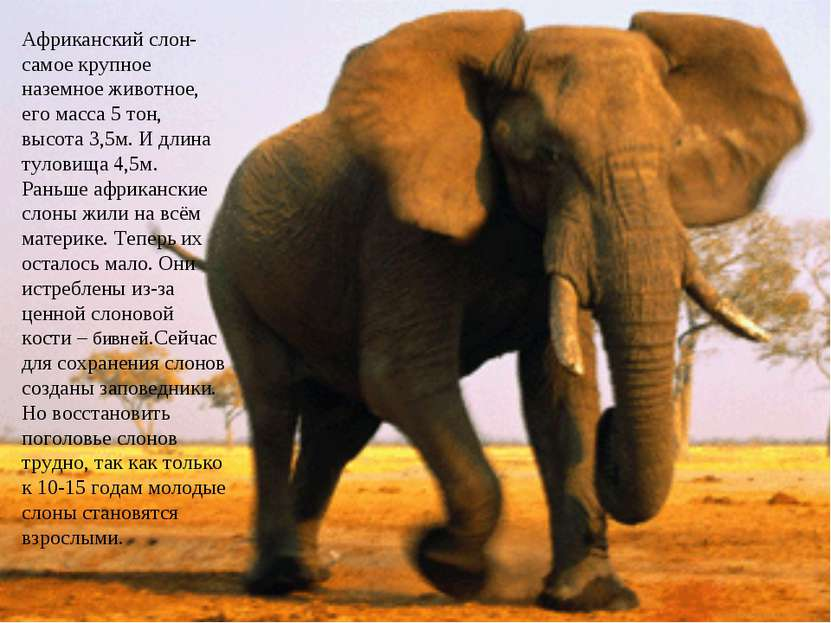 Африканский слон- самое крупное наземное животное, его масса 5 тон, высота 3,...