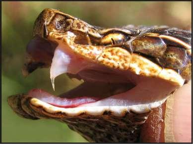 Встреча со змеёй Самая распространенная змея на территории России – гадюка Га...