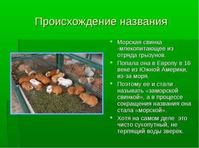 Происхождение названия Морская свинка -млекопитающее из отряда грызунов. Попа...