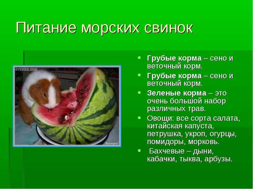 Питание морских свинок Грубые корма – сено и веточный корм. Грубые корма – се...