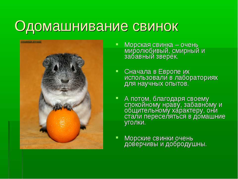 Одомашнивание свинок Морская свинка – очень миролюбивый, смирный и забавный з...