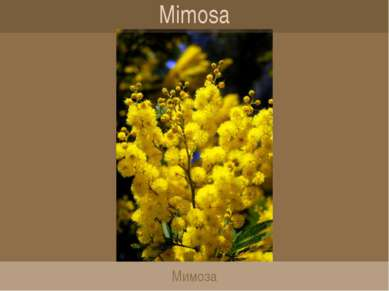 Mimosa Мимоза