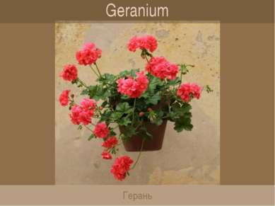 Geranium Герань