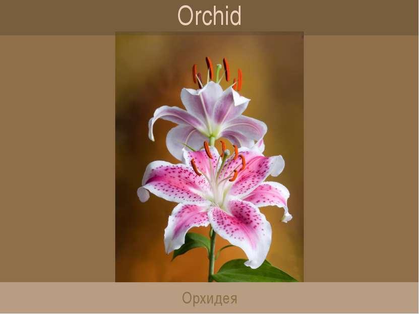 Orchid Орхидея