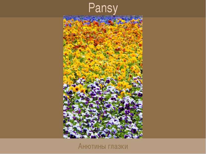 Pansy Анютины глазки