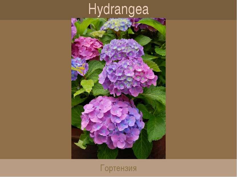 Hydrangea Гортензия