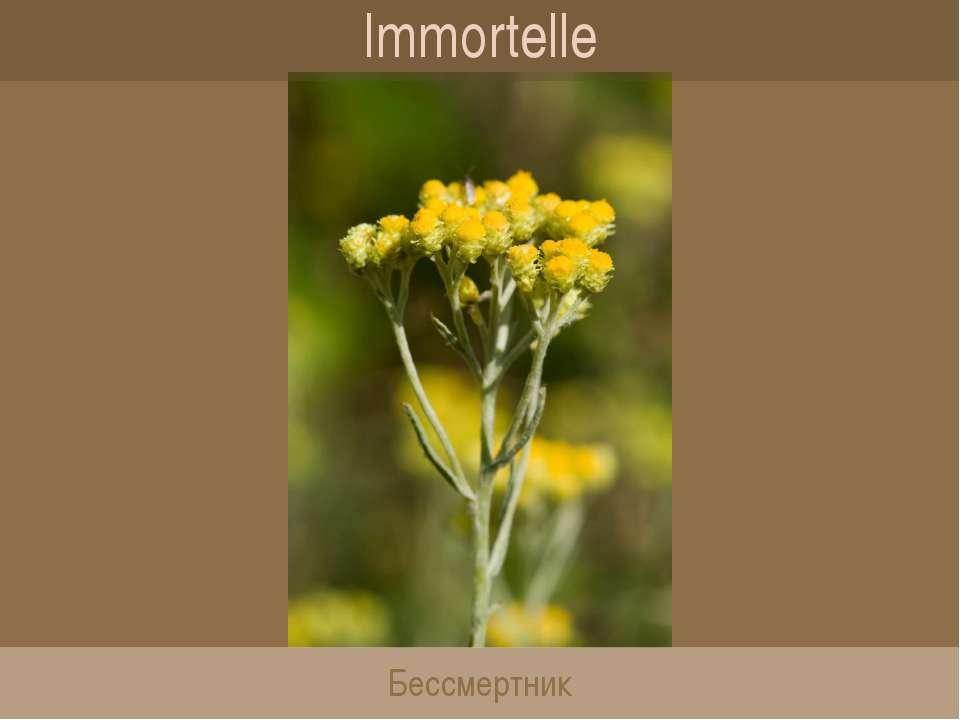 Immortelle Бессмертник