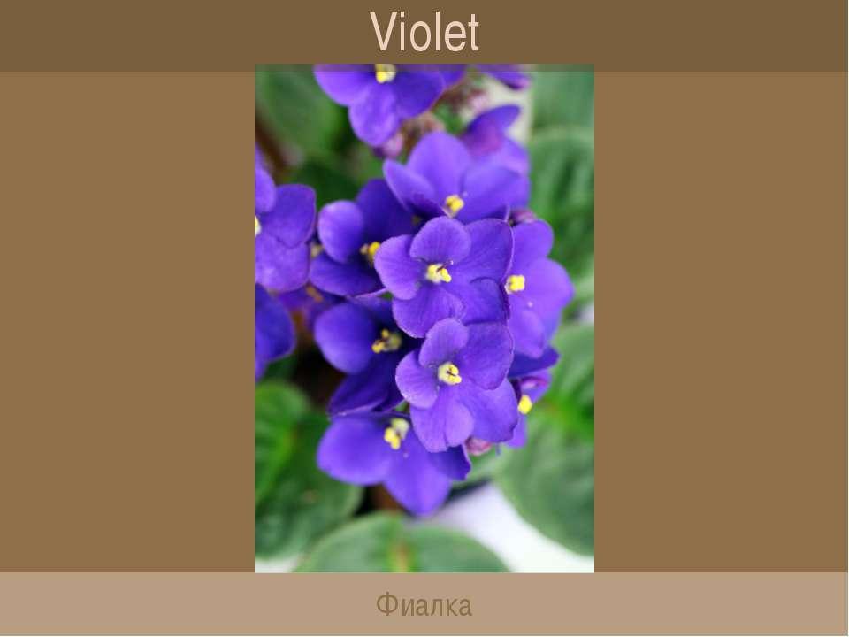 Violet Фиалка