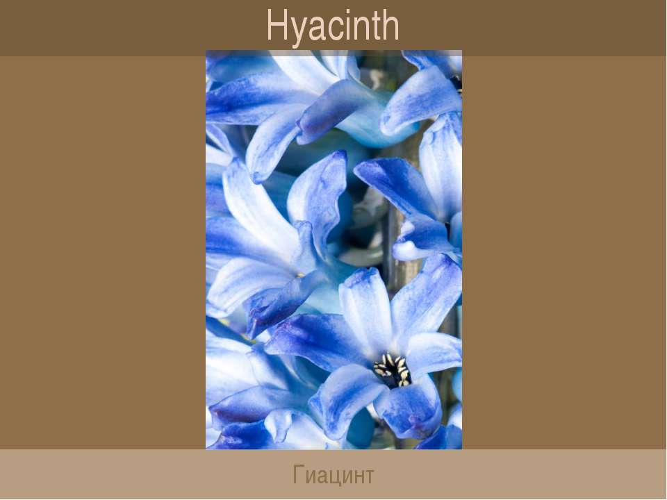 Hyacinth Гиацинт
