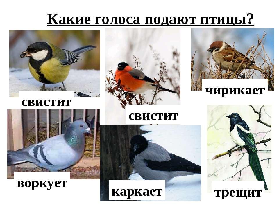 Какие голоса подают птицы? чирикает свистит свистит воркует каркает трещит