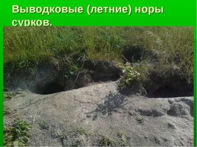 Выводковые (летние) норы сурков.