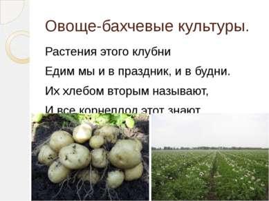 Овоще-бахчевые культуры. Растения этого клубни Едим мы и в праздник, и в будн...