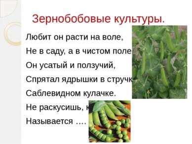 Зернобобовые культуры. Любит он расти на воле, Не в саду, а в чистом поле. Он...