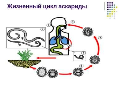 Жизненный цикл аскариды
