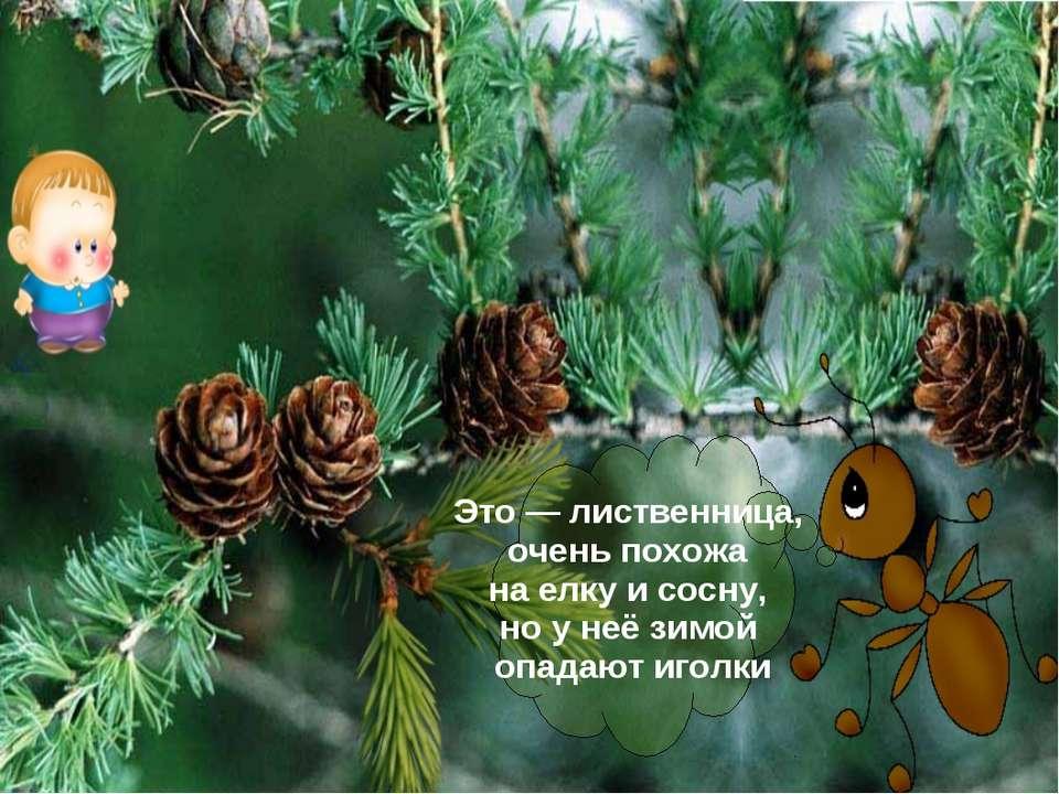 Это — лиственница, очень похожа на елку и сосну, но у неё зимой опадают иголки