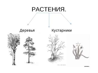 РАСТЕНИЯ. Деревья Кустарники Травы