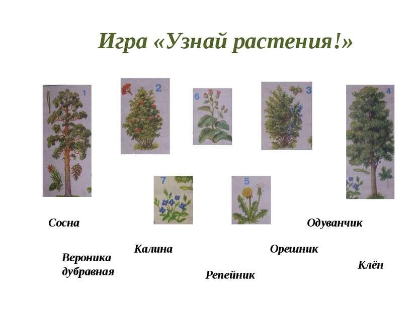 Игра «Узнай растения!» Калина Одуванчик Орешник Клён Репейник Вероника дубрав...