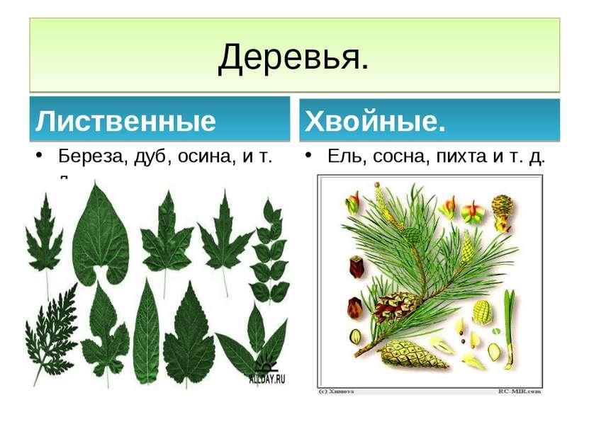 Деревья. Лиственные Береза, дуб, осина, и т. д Хвойные. Ель, сосна, пихта и т...