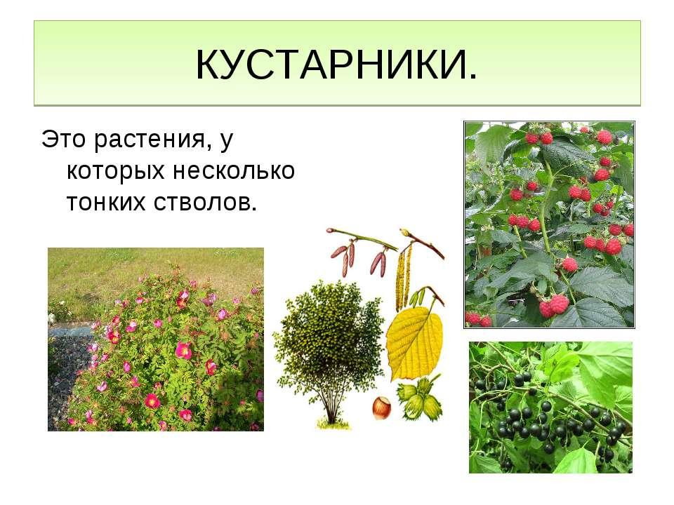 КУСТАРНИКИ. Это растения, у которых несколько тонких стволов.