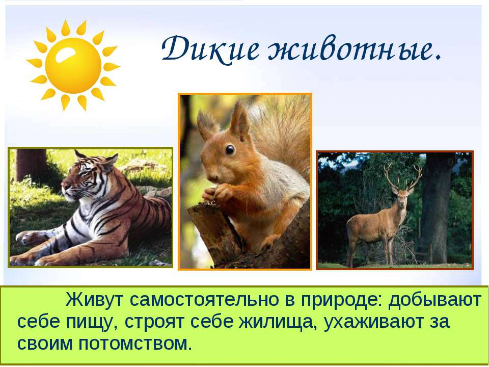 Презентация Животные дикие и домашние класс скачать бесплатно Дикие животные Живут самостоятельно в природе добывают себе пищу строят се