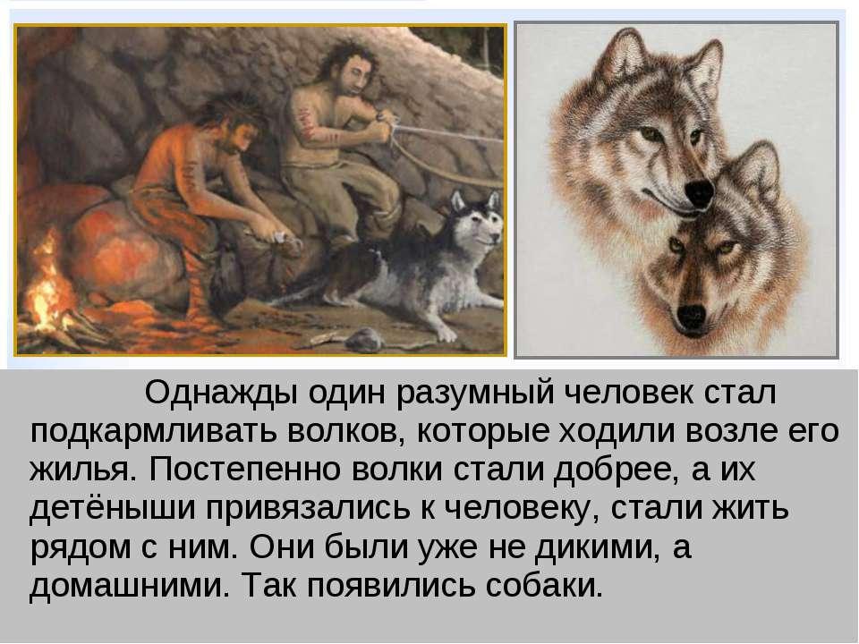 Однажды один разумный человек стал подкармливать волков, которые ходили возле...