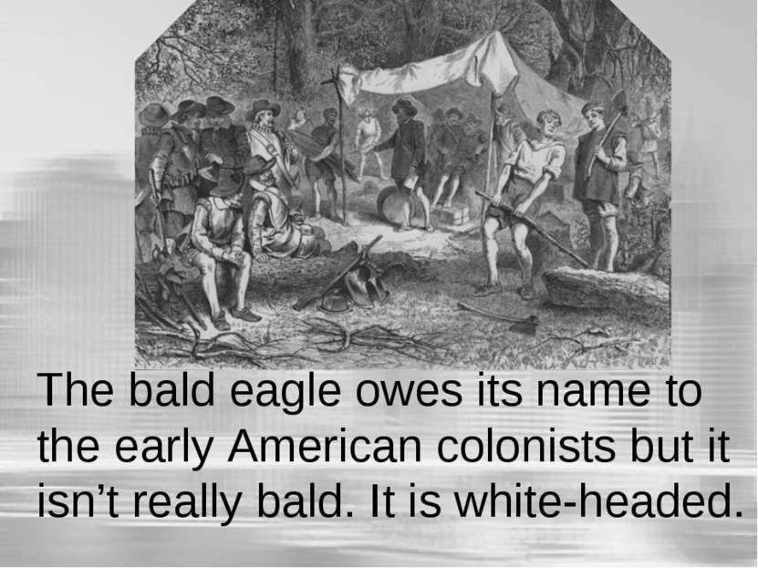 The bald eagle owes its name to the early American colonists but it isn't rea...
