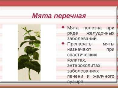 Мята перечная Мята полезна при ряде желудочных заболеваний. Препараты мяты на...
