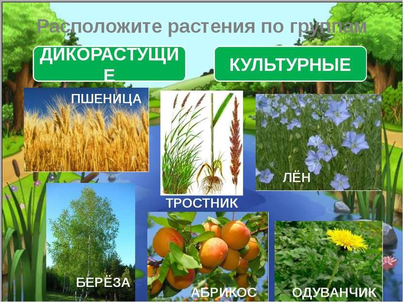 Расположите растения по группам ДИКОРАСТУЩИЕ КУЛЬТУРНЫЕ ТРОСТНИК ОДУВАНЧИК БЕ...