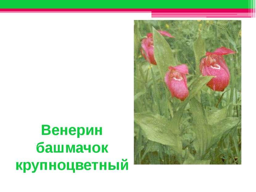 Венерин башмачок крупноцветный