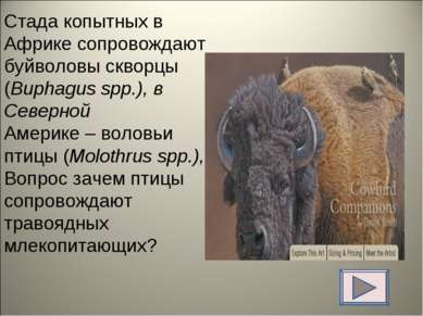 Стада копытных в Африке сопровождают буйволовы скворцы (Buphagus spp.), в Сев...