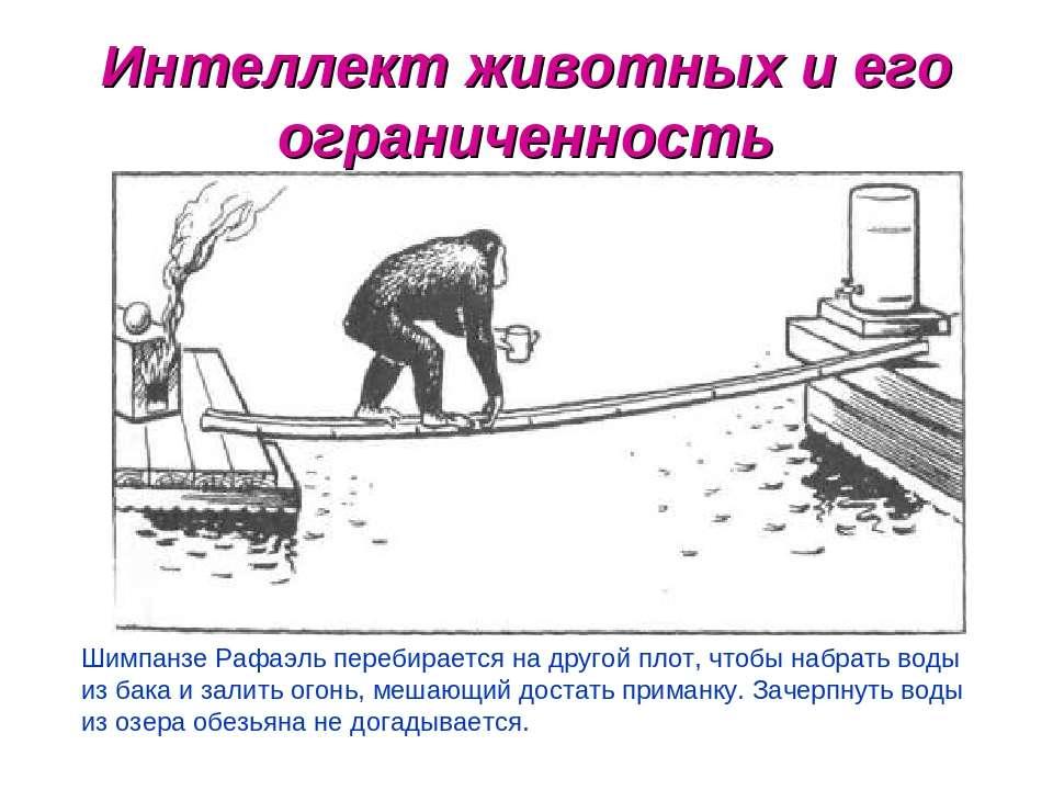 Интеллект животных и его ограниченность Шимпанзе Рафаэль перебирается на друг...