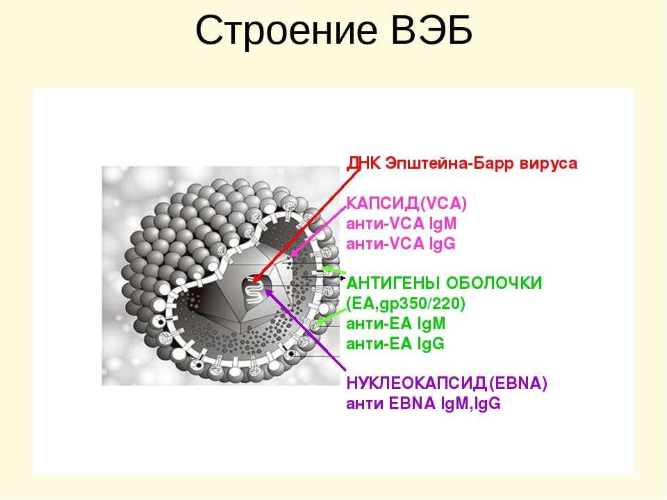 Строение ВЭБ ДНК Эпштейна-Барр вируса КАПСИД (VCA) анти-VCA IgM анти-VCA IgG ...
