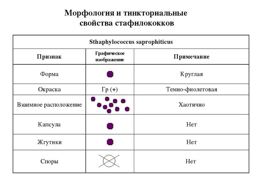 Морфология и тинкториальные свойства стафилококков Sthaphylococcus saprophiti...