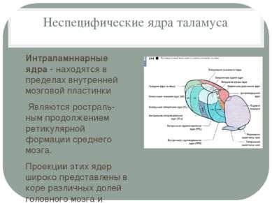 Неспецифические ядра таламуса Интраламннарные ядра - находятся в пределах вну...