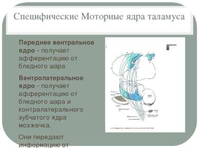 Специфические Моторные ядра таламуса Переднее вентральное ядро - получает афф...