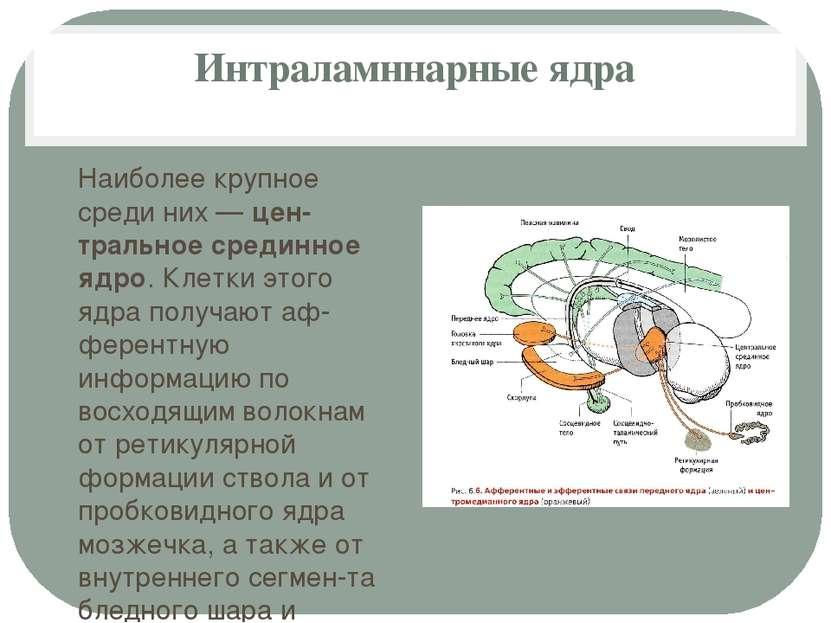 Интраламннарные ядра Наиболее крупное среди них — цен тральное срединное ядро...