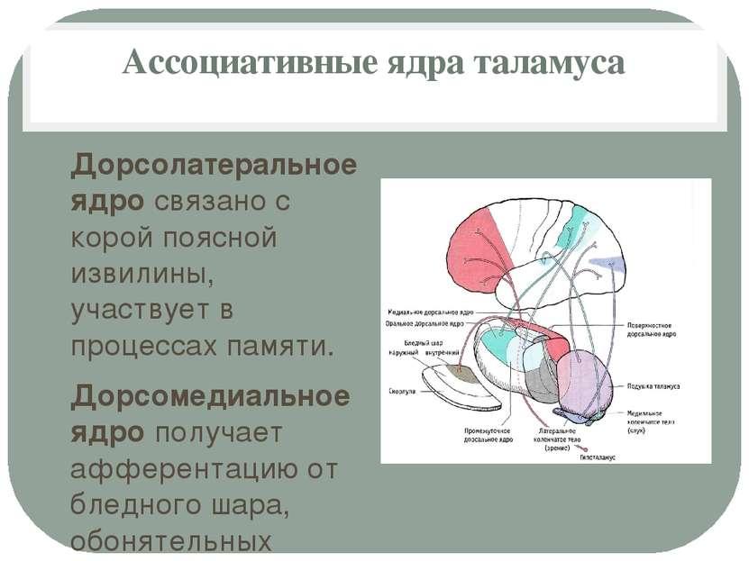 Ассоциативные ядра таламуса Дорсолатеральное ядро связано с корой поясной изв...