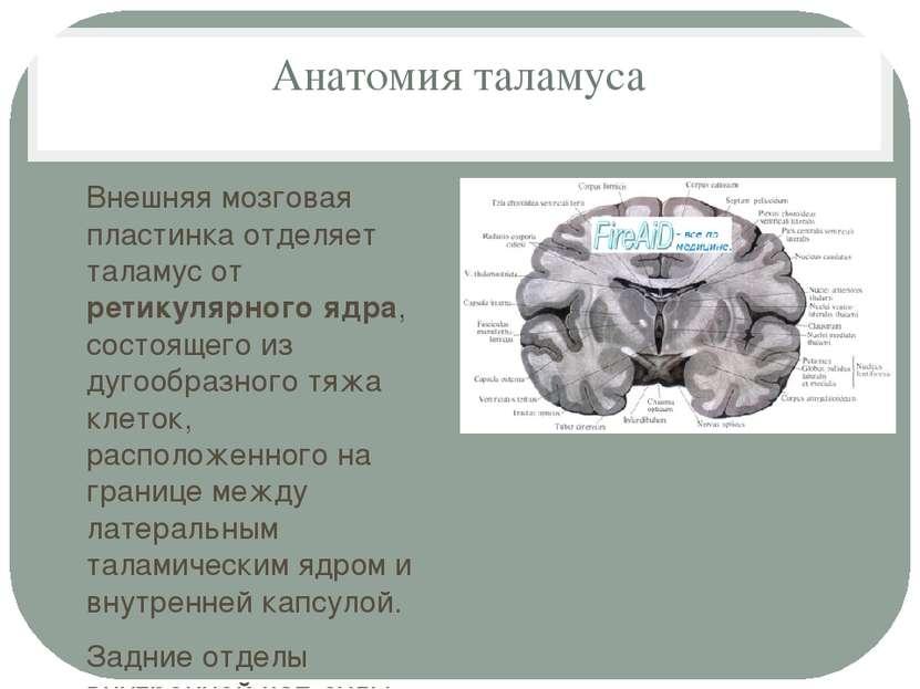 Анатомия таламуса Внешняя мозговая пластинка отделяет таламус от ретикулярног...